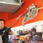 RT @BuzzFeed: This picture of an NYPD officer trying to catch a rogue raccoon will brighten your day http://t.co/E3L6EOzAcV http://t.co/8iiue31gxL