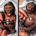 Newborn gorilla reacting to a cold stethoscope. http://t.co/BsU2MwmjQ3