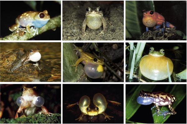 The vocal sacs of frogs: Wow! Via this paper http://t.co/mMsKDXpTRC in @EthologyScience http://t.co/3oOt9eUGPV