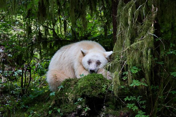 Close up with #spiritbears #humpbackwhales and much more thanks to @JohnEMarriott http://t.co/S9GYVSEopf http://t.co/2QZNUaY9e2