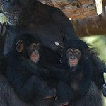 RT @HuffPostJapan: 【研究結果】チンパンジーは母親以外の大人も世話をする http://t.co/NKQXjX9uGh http://t.co/jVsLsx39js