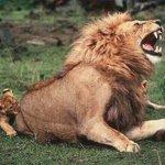 RT @VoceNaoSabiaQ: Leões adultos fingem sentir dor com as mordidas de seus filhotes para deixa-los mais animados - http://t.co/jDEF6k08Ge