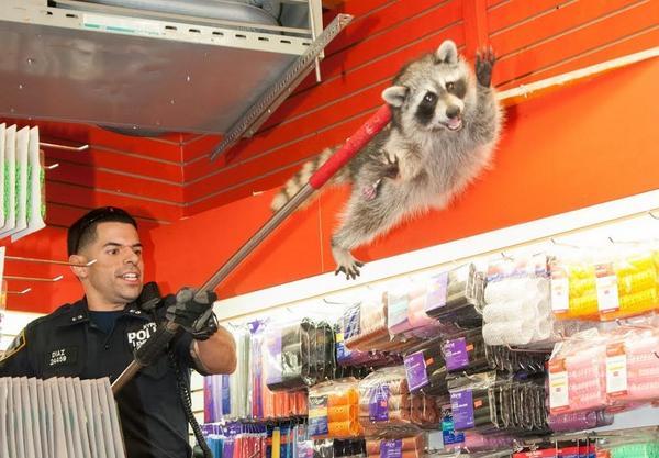 뉴욕경찰이 뷰티숍에 들어온 라쿤을 잡는 모습. 가디언즈 오브 갤럭시 로켓라쿤 실시판 보는 듯. http://t.co/e9ZAIZLbPt http://t.co/HKtvjNlsEs