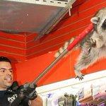 RT @fairymessie: アライグマ飛んでるwww RT @livedoornews: 【あぁ~】ニューヨークに出没したアライグマ あえなく御用 http://t.co/gDTjY7S4Rr 野生のアライグマは狂犬病ウイルスを持っている恐れがあり危険とのこと http://t.co/oRbAq6Gw4R