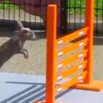 【New!】「ピョン、ピョーン!」ウサギの連続ジャンプから目が離せない(動画) http://t.co/fYx5NdZ4Ud http://t.co/47hoAcMIDs