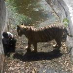 2x0 Tigres RT @g1 Tigre mata estudante que entrou em sua jaula em zoológico da Índia http://t.co/RzTdzLZOWU #G1 http://t.co/KFMg0Z1PXZ