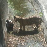 #Delhi Zoo image where 12th class boy was killed by a White Tiger http://t.co/QZy2pFHPUc