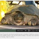 RT @livedoornews: 【デカッ!】巨大スッポンをロス郊外の捕獲 http://t.co/wG6YdelxhX 関係者によると、住んでいた池の生き物を食べ尽くしたっぽい。。 http://t.co/QzVvpQreTs