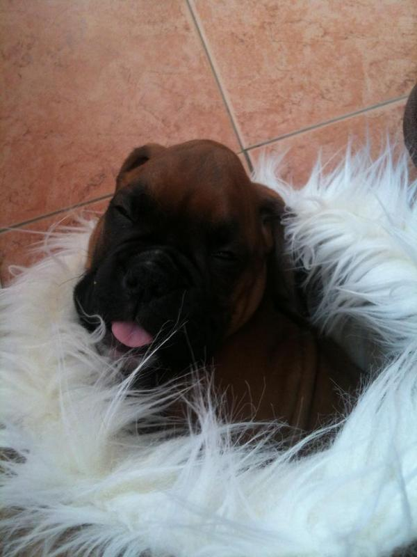 @FureverBoxers @boxersisters Louis when he was so small sleeping in the cats bed. http://t.co/QILqW4EIo4