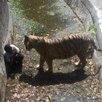 RT @JornalOGlobo: Jovem morre ao invadir jaula e ser atacado por tigre branco na Índia. http://t.co/OJTZG39mvN http://t.co/0AhfcEQ1b3