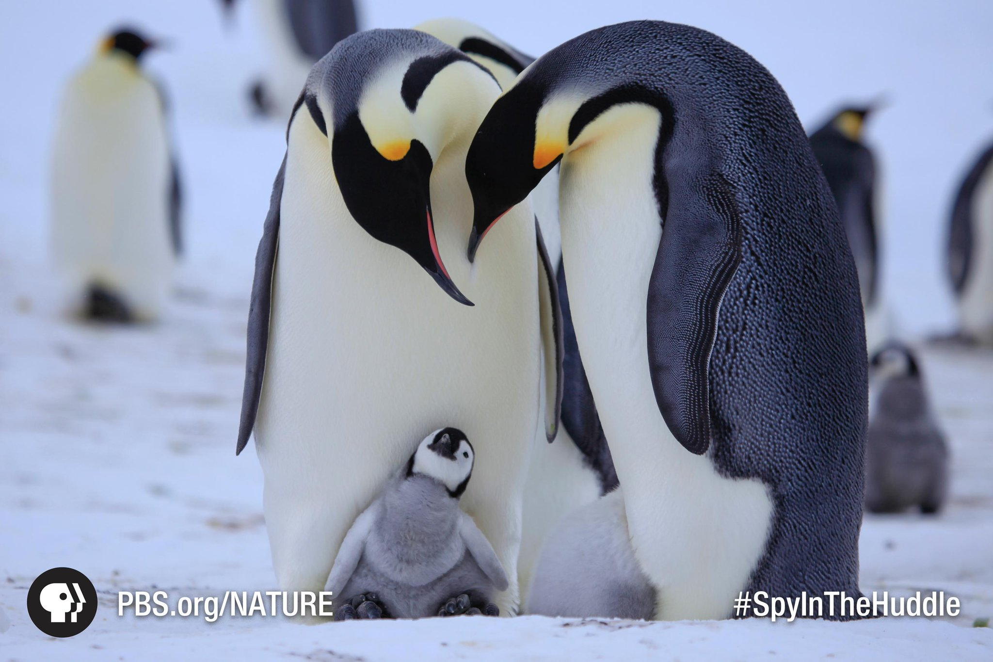 Hey there! Did you set the DVR for Penguins: #SpyinTheHuddle on @PBS Wednesday night? http://t.co/Y6snftGiui