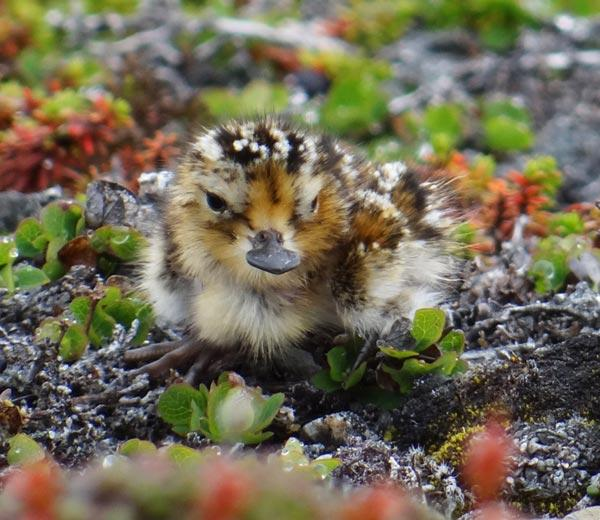 Wonderful news as 1st spoon-billed sandpiper chick is hatched in wild by hand-reared bird > http://t.co/NlHzq8iMdp http://t.co/RZoOhFRvnE