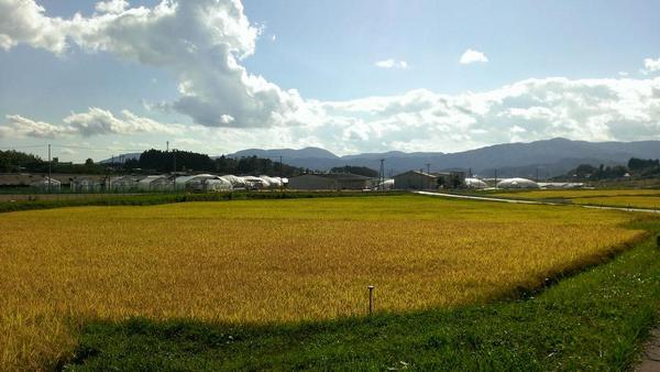 """きょうの陸前高田は、曇りだけど 見てください。 津波で農地が被災したと分からないくらいに黄金色の絨毯が広がっています。 先日、小友町の水田で、震災後初となる4年ぶりの稲刈りが行われました。 地元のブランド米""""たかたのゆめ""""広がれ☆彡 http://t.co/RKkW786asT"""
