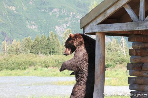 When you just can't reach that itch on your back.  #brownbear #alaska #wildlife #nature #photography http://t.co/Iqocs2JI9h