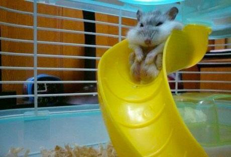 RT @BuzzFeedAnimals: CUTE ALERT: Hamster on a playground! http://t.co/SfzTOK3Ds5