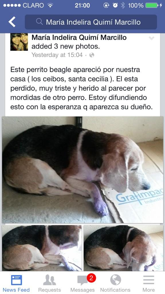 ClaudiaBeatriz (@Clanover): Encontraron un Beagle viejito perdido por santa Cecilia