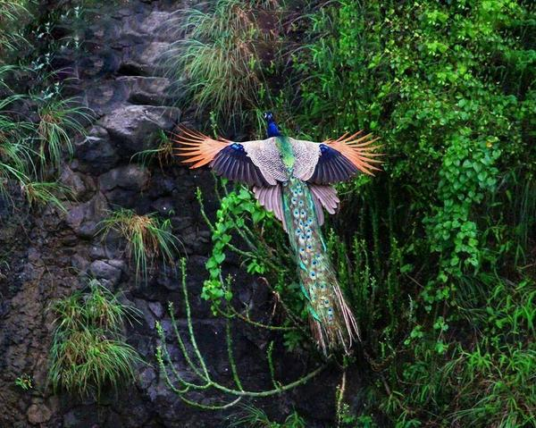 Rare shot of a majestic Peacock in flight: http://t.co/wDGltwXTEZ
