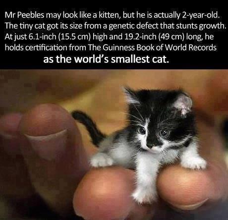 World's smallest cat: http://t.co/pQzB3pF4za
