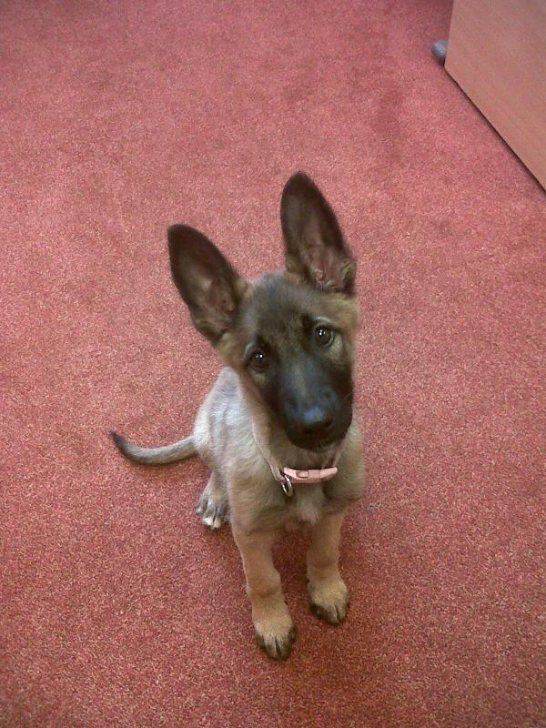 This little German Shepherd pup has been found at Roselawn Cemetery. Call 9044 8288 if you're the owner! Please RT http://t.co/coLpNuwopj