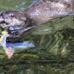 【キュン】ケータイが水中に落下→カワウソが水底に潜って拾ってくれた! http://t.co/AyddfhHzcq 9歳のカワウソStarskyがすすんで水底に潜り、ストラップをくわえて水面に泳ぎ出て携帯を渡してくれました。 http://t.co/pkorPcLeaT