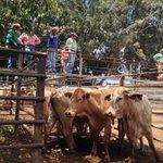 RT @FarOutQld: Mood upbeat amid spirited bidding at #Mareeba #cattle saleyard but so much still depends on early rain http://t.co/DZ8lwHQaid