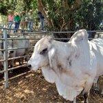 Bulls made av $1.62/kg at #Mareeba 2day, will it continue? Northern graziers optimistic but still need rain #agchatoz http://t.co/H8xKinJrJU