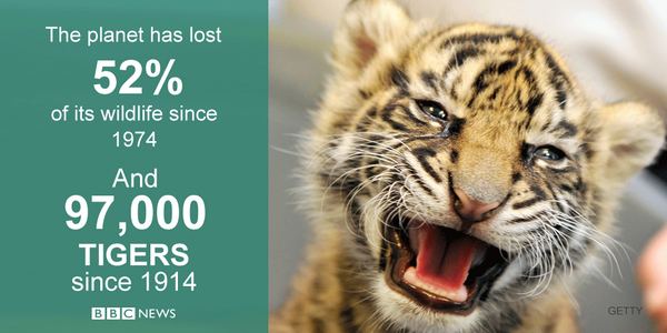 Earth has lost 97% of its tigers in a century, zoologists say #BBCGoFigure  http://t.co/z2Kc9rlF7k http://t.co/6anKWJtvPa