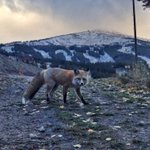 The neighborhood fox came to check out all the #BreckSnow on Peak 8 this morning. 37 days to #BreckOpeningDay! http://t.co/pA5GoOyHTU