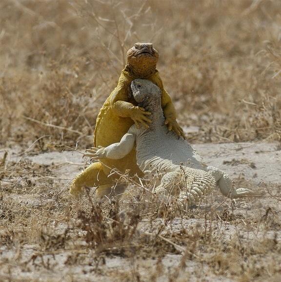 トカゲのケンカはだいたいかわいい http://t.co/miQpqH1rBV
