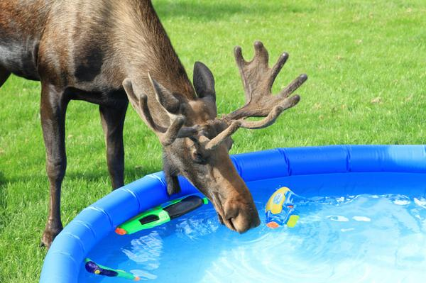 This kids didn't mind sharing the pool.  #alaska #moose #wildlife #nature #photography http://t.co/2LJvdOiWkO