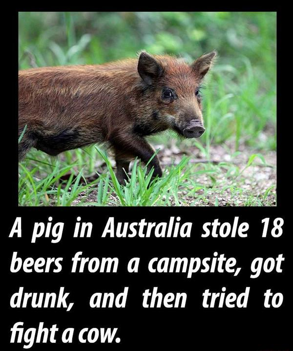"""The pig probably had much the same reaction the morning after. """"...Did that really happen or did I dream that?"""" http://t.co/4ou7BIV7ng"""
