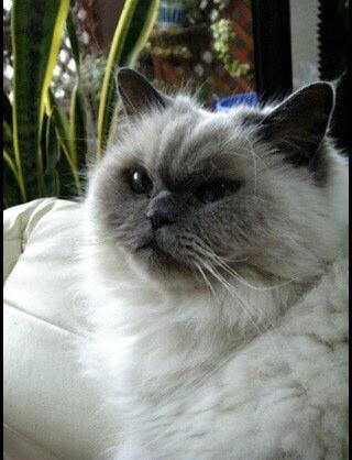 先月、18才7ヶ月で天国へ旅立った愛猫リッチ(ヒマラヤン)の青年時代(笑) http://t.co/1dmzHn7R9k