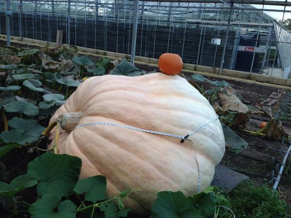 No...this is a pumpkin! http://t.co/u0dNyZzIwB