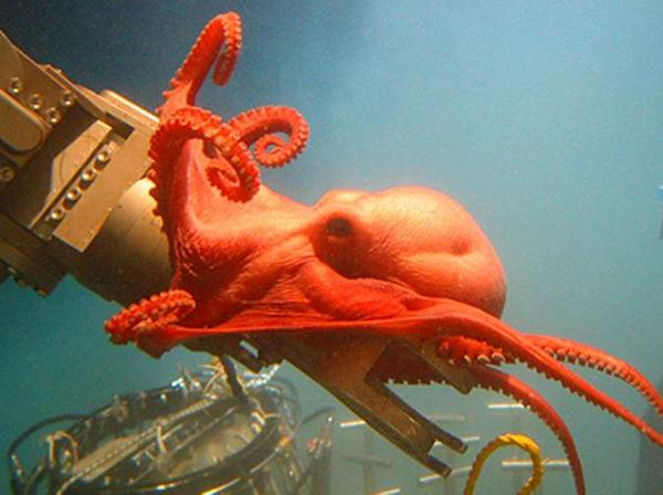 Happy Octopus Day! Here's a curious octopus wrapping itself around a submersible arm 8,000 feet deep from @WHOImedia http://t.co/q6DcCxTsr4