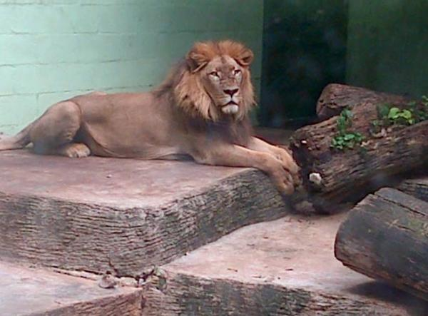 The zoo's oldest lion, Simba, has died at the age of 20. The lion died peacefully in its sleep last night. http://t.co/YUi2fiqdD7
