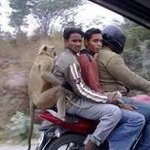 Is this monkey the same one from ur profile pic, he is definitely living a good life :) @vikramponappa #RoadTrip...