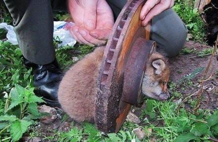 Главное, что сегодня произошло, — это, конечно, спасение упитанного лисёнка из тормозного диска http://t.co/7dYVsICzvH