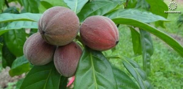 فاكهة استرالية تشفي من الأورام الخبيثة خلال اسبوعين http://t.co/f4JViErfM7 http://t.co/JIeqAD5t4d