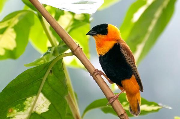 RT @BobTarte: Orange Bishop at Meijer Garden in Grand Rapids, MI. One of several birds in the indoor 'rain forest.' http://t.co/Xo35EgsyRQ