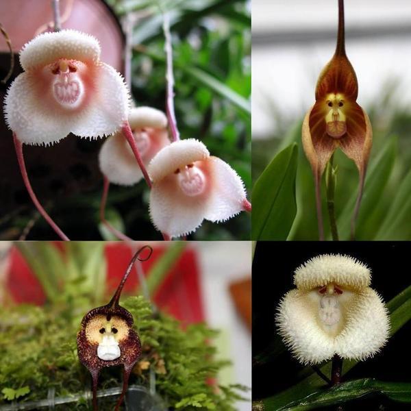 Monkey orchids: http://t.co/AZU5SoqBZc