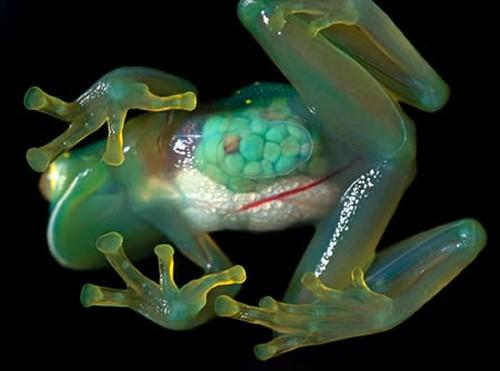 Awesome tropical glass frog: http://t.co/1h3A12H6y7