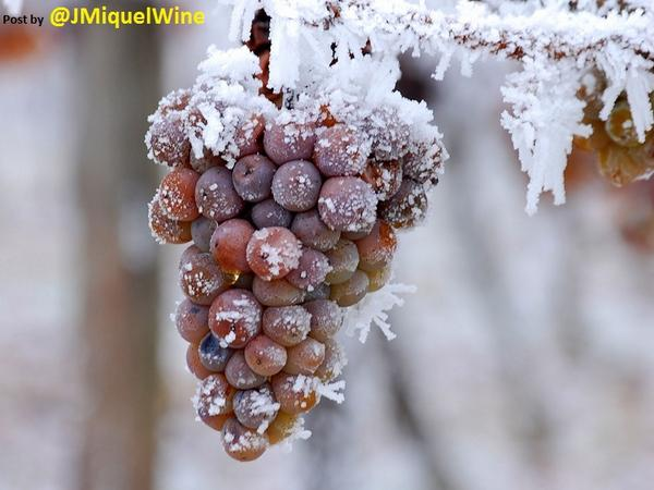 How to make ice wine? First, find a magnificent frozen buch of grape... then press.   #winegrowing via @JMiquelWine  http://t.co/NGoVCFXBbs