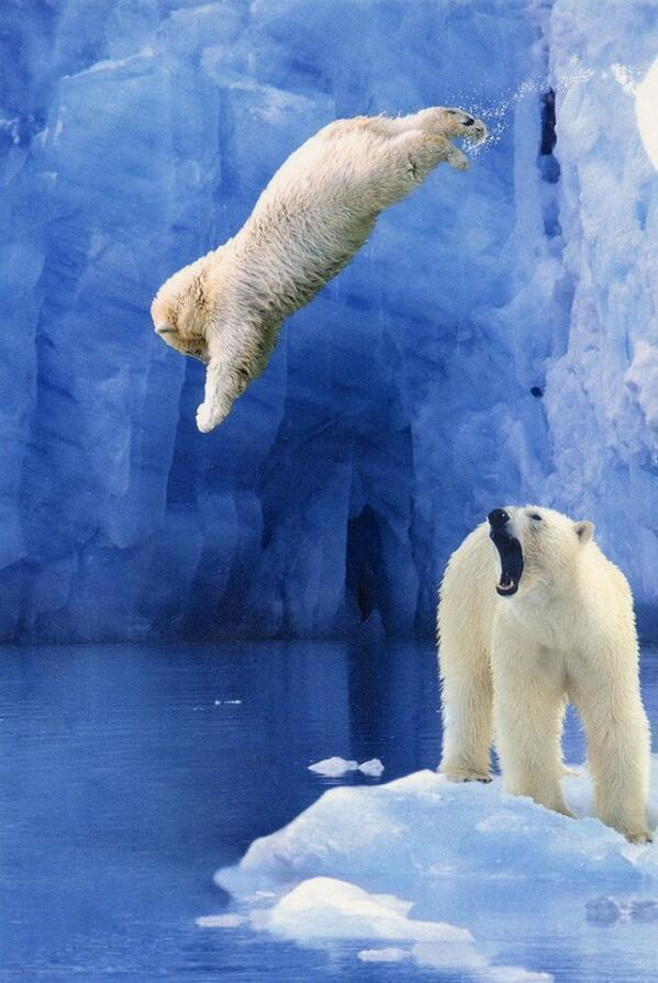Polar bear cub takes a graceful dive while mom looks on. What an awesome shot. http://t.co/A9dUuzCoO8