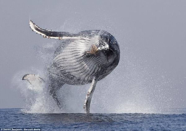 Fliying whale - http://t.co/WJh1Mss1UK #awesome http://t.co/br5l4OGdIi