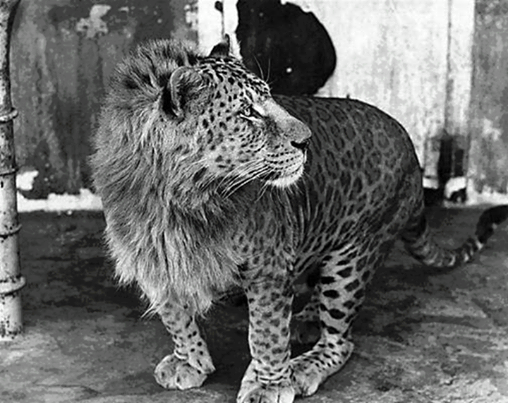 This is a Leopon, a male leopard and a female lion hybrid !!! http://t.co/B79TTSPwrc