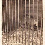 Discovery of Tasmanian tiger photo renews interest in thylacine