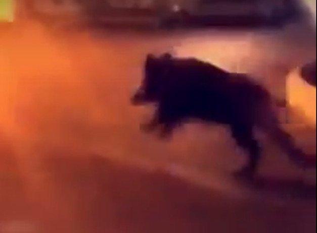 🇫🇷 #Alès VIDEO. Scène incroyable filmée par un automobiliste : un sanglier fou déambule dans la ville. https://t.co/I1BhAnT7Mb