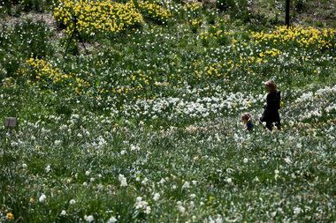 Arboretum visitors surrounded by daffodils (PHOTOS) https://t.co/sTodoeuvHc
