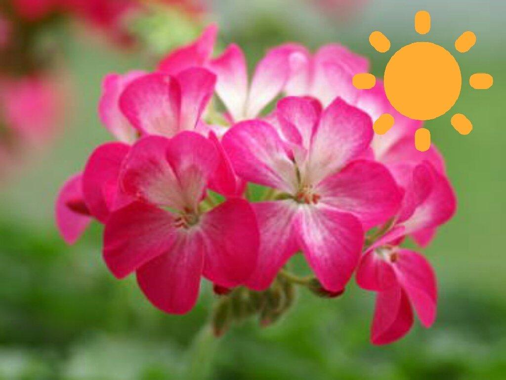 おはようございます☀4/24本日の誕生花:天竺葵(ゼラニウム)花言葉:育ちの良さ・真の友情今日から #ミになる図書館 ゴ