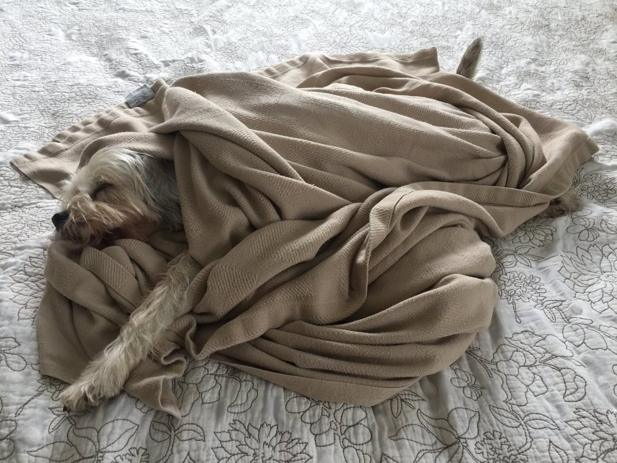 Just snuggling with my blanket...#dogsoftwitter https://t.co/XNaxfYO2x5